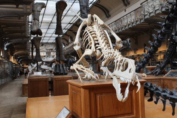 dinosaur bones in museum